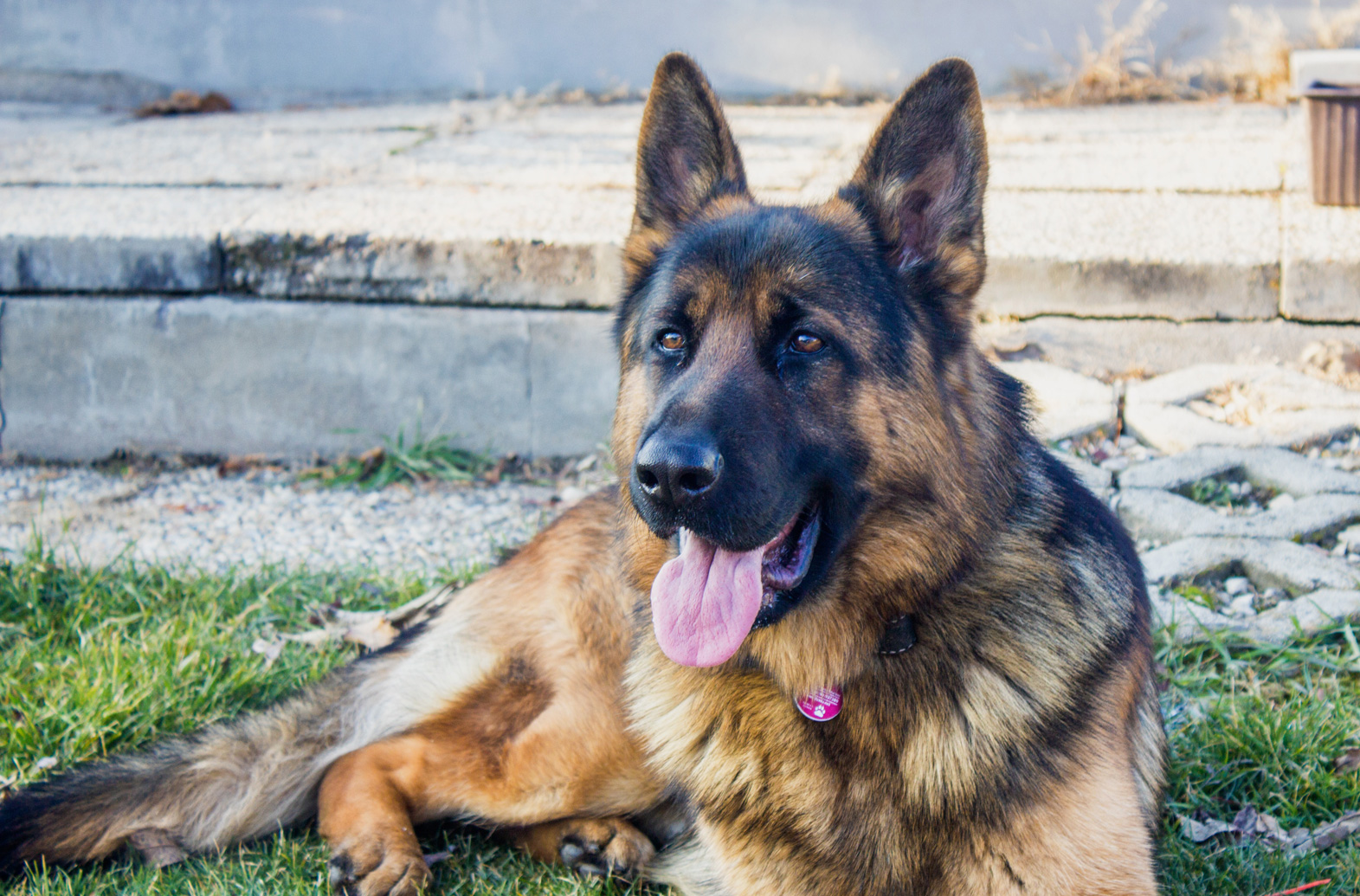 large-breed-dogs-german-shepherds