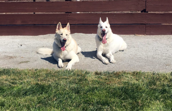 two-white-beauties-german-shepherds