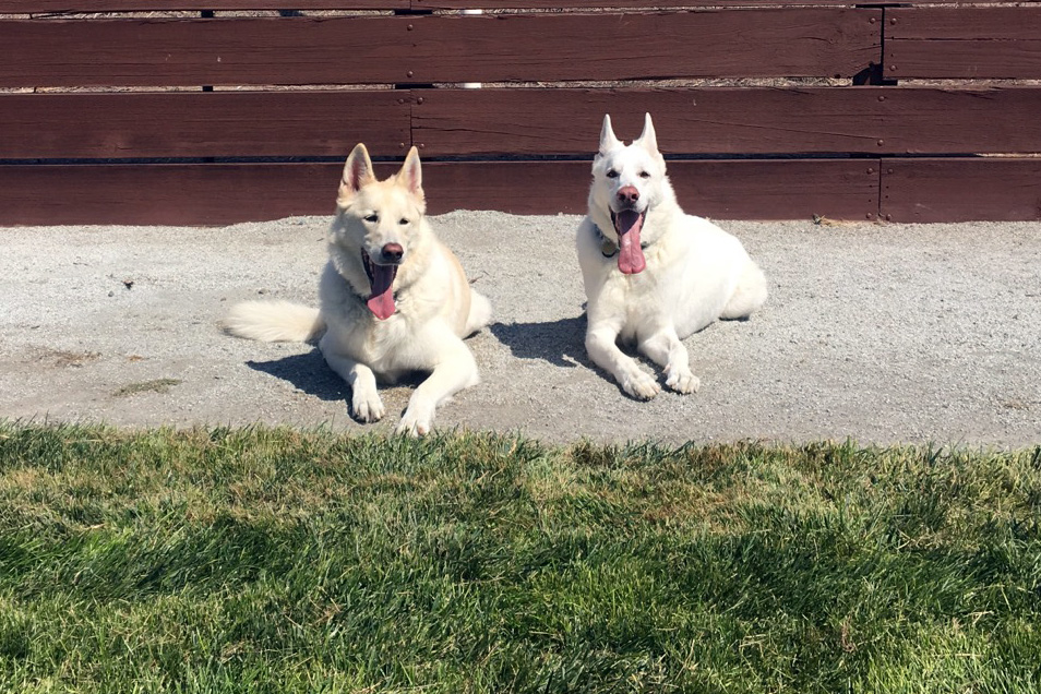 two-white-beauties-german-shepherds